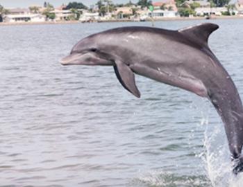 Hubbard's Dolphin Watch